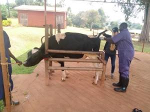 感染症検査のため採血を行う寺田(右から2番目)と現地獣医師